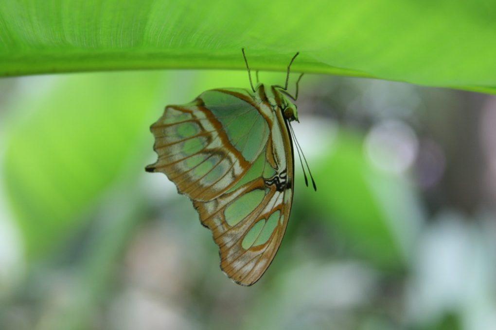 groene vlinder (1024×684)